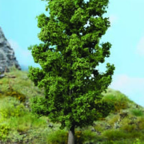 beech tree 20 cm