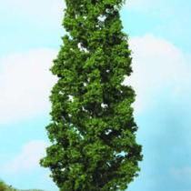 beech tree 27 cm